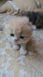 Vendo lindos filhotes de persa