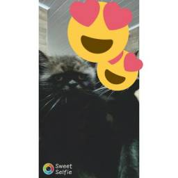 Gato persa castrado, na foto é da esquerda