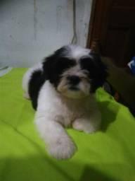 Vende se esse lindo filhote mestiço Lhasa Apso com podle com 2 meses de vida zap 981971991