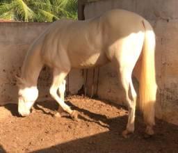 Cavalo Quarto de Milha - vaquejada