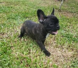 Bulldog Frances - Filhotes Lindos e Saudáveis