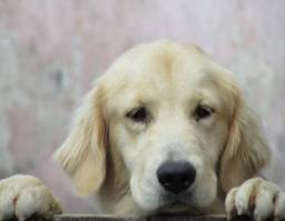 Filhotes de Golden Retriever - Final do ano