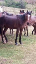 Título do anúncio: Cavalo quarto de milha com crioulo  e égua quarto de milha