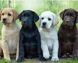 Título do anúncio: Filhotes de Labrador, Marrom, preto e champanhe.