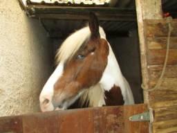Oportunidade - Vendo cavalo mangalarga marcha picada pampa castrado