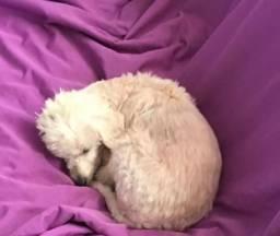 Doa-se poodle pequeno medio 2 anos castrado