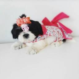 Promoção de Natal! Maravilhosa +Top Shih Tzu fêmea contrato garantia