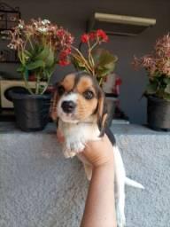 Título do anúncio: Beagle Miniatura