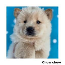 Título do anúncio: Chow chow com pedigree e micro chip em até 12x