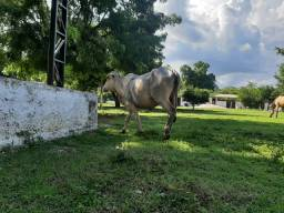 Vendo ou troco Vaca prenhe
