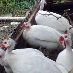 Galinha Da Angola Branca. Ovos Férteis De Galinha D'angola