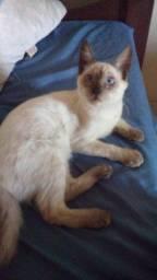 Gato Siamês Filhote