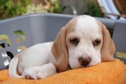 Beagle - machinhos e femea com garantia de vida e saúde
