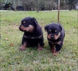 Lindos filhotes de Rottweiler, de excelente procedência. Com pedigree