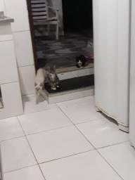 Adoção de Filhotes de Gatinhos