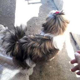 Shitzu fêmea Mini 5 meses