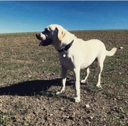 Procuro namorada para Labrador