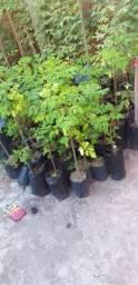Moringa oleifeira