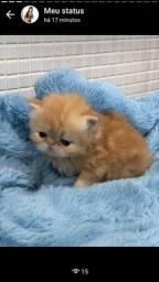 Gatos persa swool