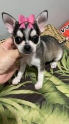 Chihuahua menina. Vacinada e com pedigree