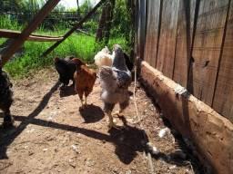 Galos e galinhas 35,00