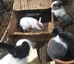 Título do anúncio: Temos diversas raças de coelho anão