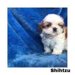Título do anúncio: Shihtzu com pedigree e micro chip em até 12x