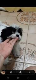 Venda cachorro