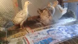 Filhotes de peru