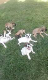 Filhotes de cachorros box