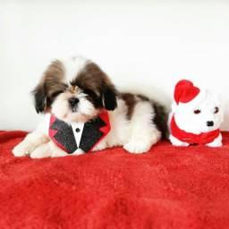 Promoção de Natal!! +Lindo Top Shih Tzu Macho R$990 contrato garantia