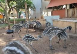 Emu filhotes