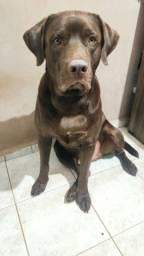 Labrador - Procura Namorada