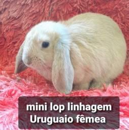 Título do anúncio: Mini lop linhagem Uruguaio promoção dia das crianças!
