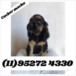 Filhote de Cocker Macho Black Tan com pedigree a pronta entrega....