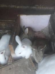 Vende-se coelho com 40 dias de 25 reais cada