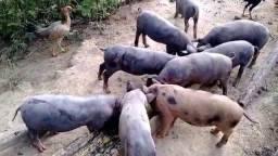 Porco Gordo Saudável