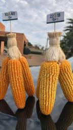 Semente de milho