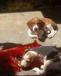 Beagle com Fox casal