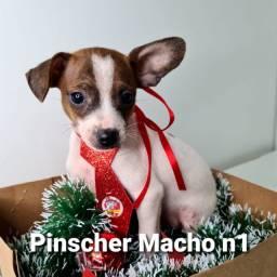 Lindo macho de Pinscher