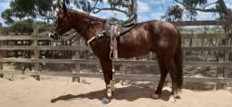 Oportunidade: Cavalo QM puro de Vaquejada