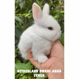 Título do anúncio: Mini coelhos e coelhos anão a disposição. Netherland Dwarf anao a pronta entrega Fuzzy lop