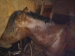 Vendo cavalo Simioni