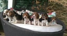 Filhotes de Beagle (28)999309345
