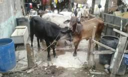 Gados à venda Seis gado sendo três fêmeas duas está buchuda