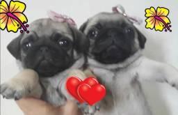 Lindos bebezinhos pug