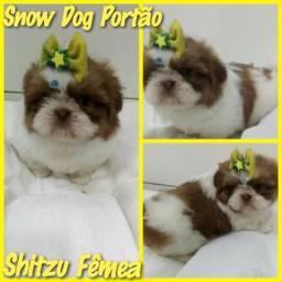 Fêmea de Shitzu com garantia de procedência no Snow Dog Portão