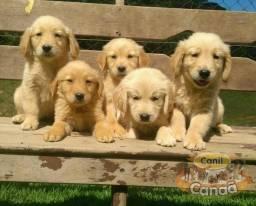 Filhotes de Golden Retriever (28)999309345