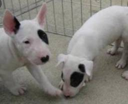 Vendo  filhotes de Bull terrier
