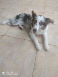 Vendo Border Collie Fêmea, Blue Merle